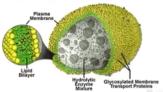 Image of the Lysosomes