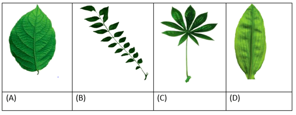Image A, D are simple while B, C are compound leaves