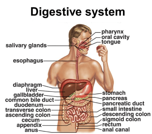 scientists discover a new organ in human digestive system- examrace, Human Body