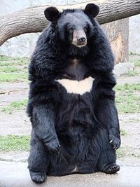 Asian black bear or moon bear or white-chested bear