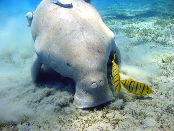 Image of Dugong or Sea Cow