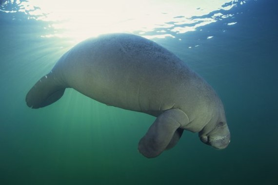 Image of Manatees Species
