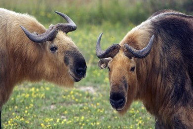 Image of Takin