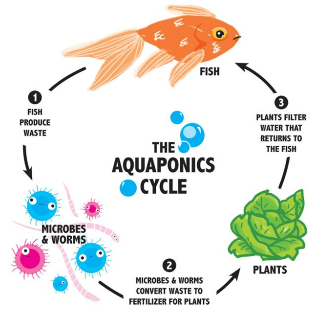 Image of Aquaponics cycle