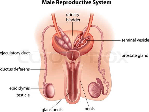 Image of Reproductive System