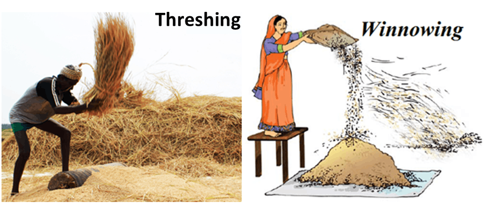 Image of Threshing And Winnowing