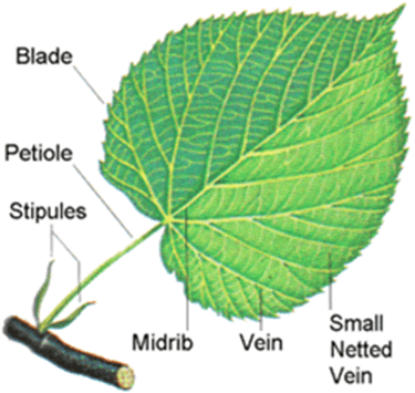Image of leaf Venation