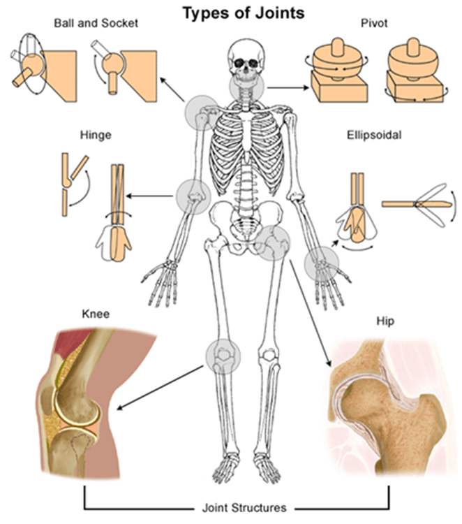 Image of Types of Joints