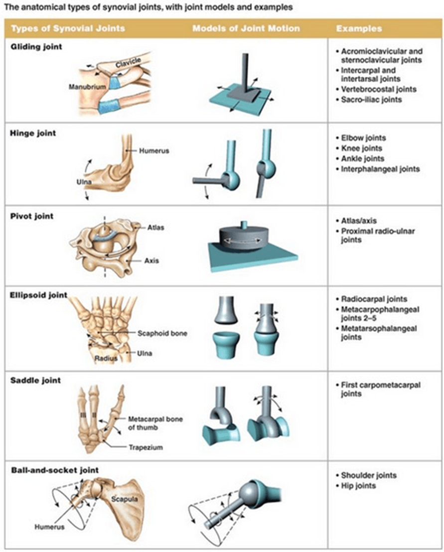 Image of Types of Synovial Joints