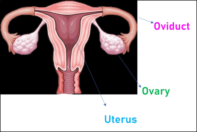 Image of Female Reproductive Organs