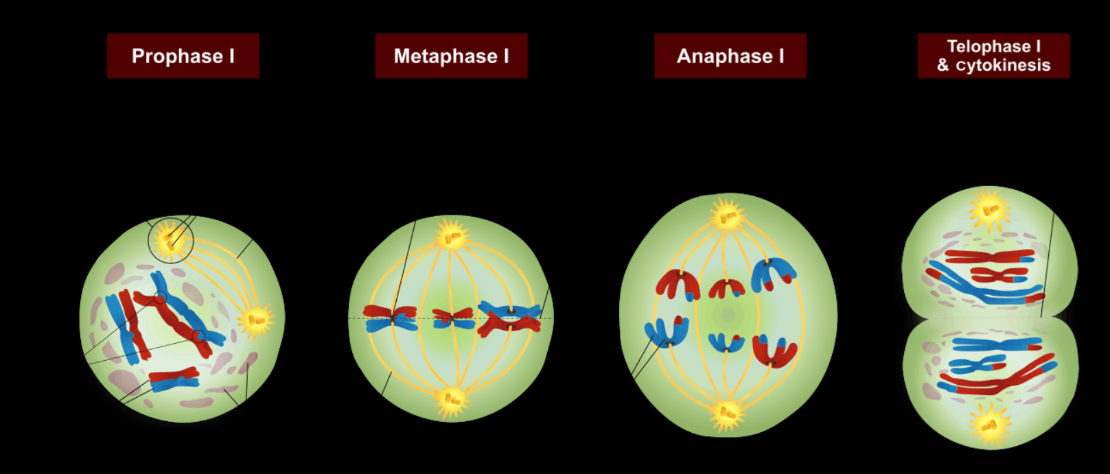 Cell Division Meiosis I of Image - 3