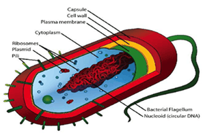 Differences of Prokaryotic And Eukaryotic Cells Image - 2