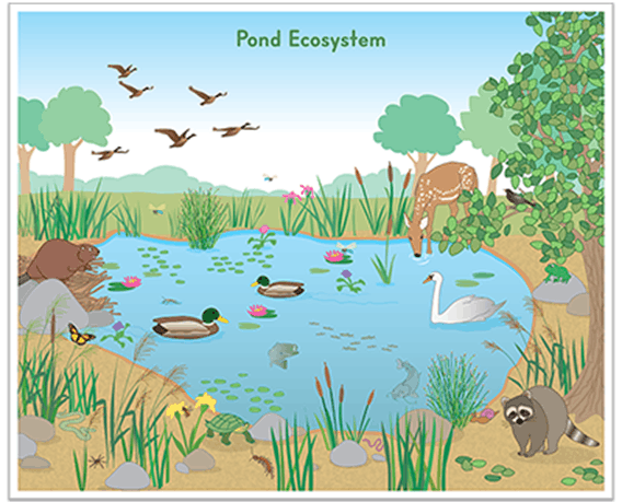 Image of pond ecosystem