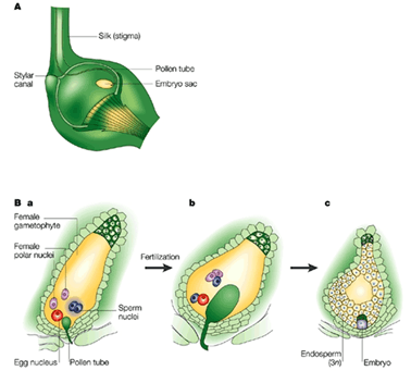 Image of Double Fertilization