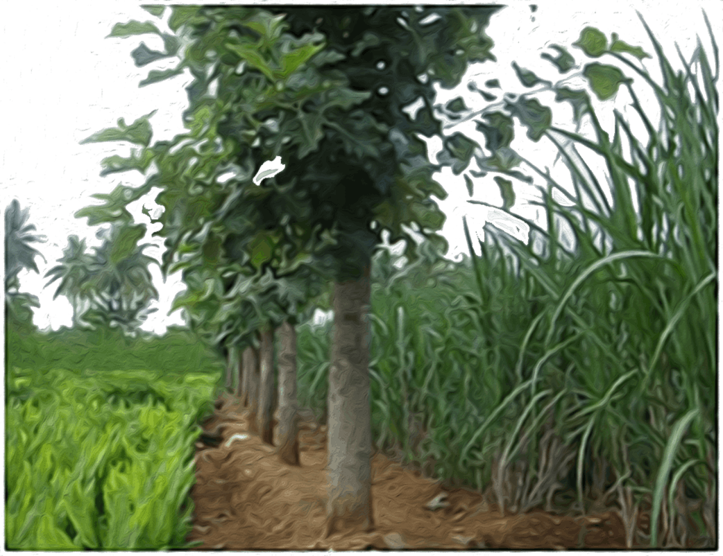 Agroforestry Image-1