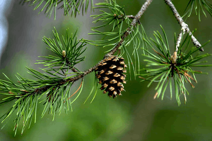 Image-2 of Pine Tree
