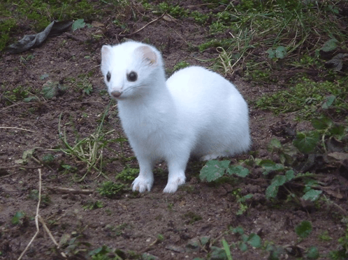 Image of Ermine Animal