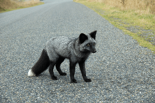 Image of SilverFox Animals