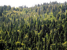 Image of Coniferous Vegetation