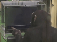 Image result for chimp counting gif