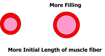 Image of Initial Length of Muscle Fiber