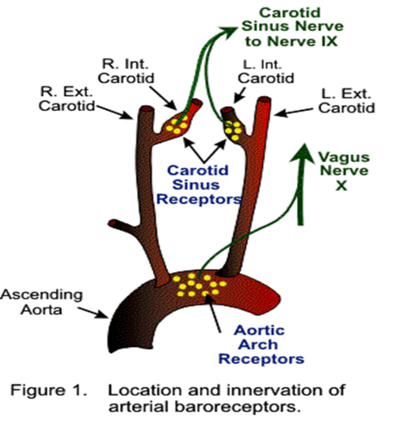 Image of Location And Innervation of Arterial Baroreceptors
