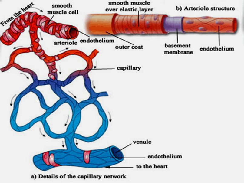 Image of Details of The Capillary Network