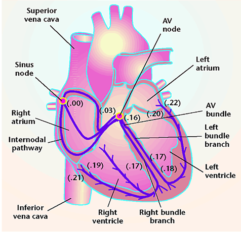 Heart as Specialized Tissue