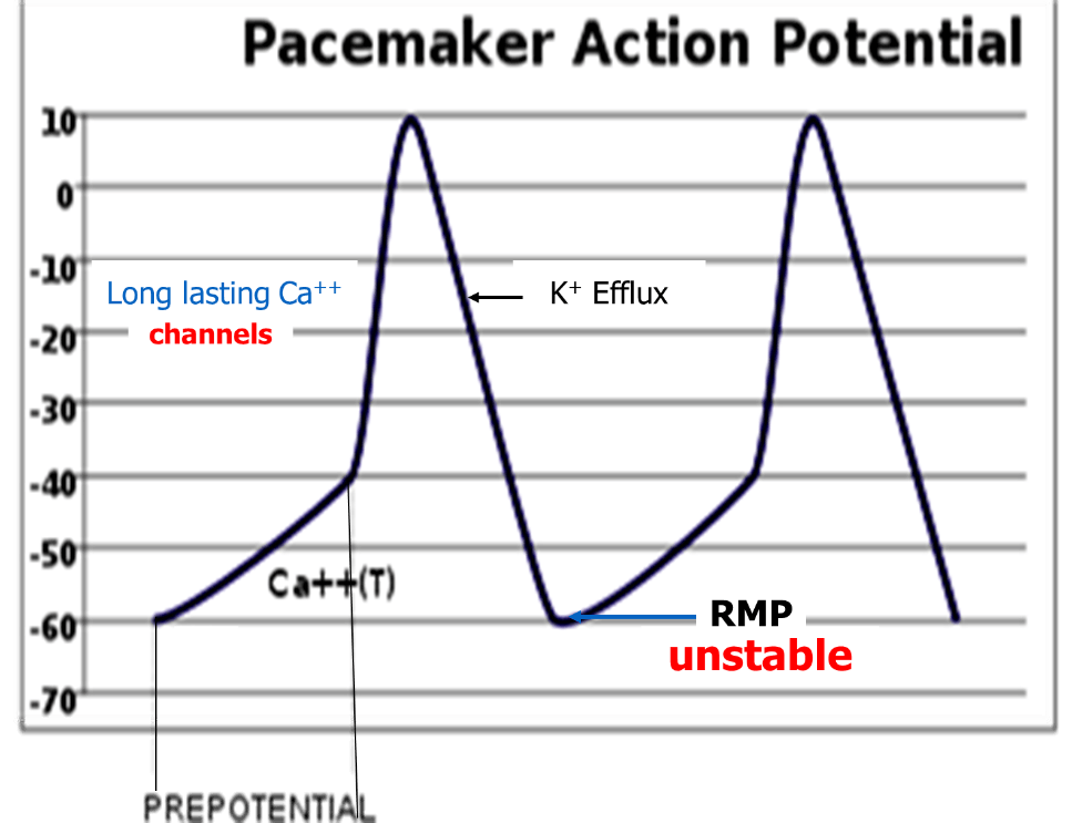 Image of Pacemaker Action Potential Image - 1