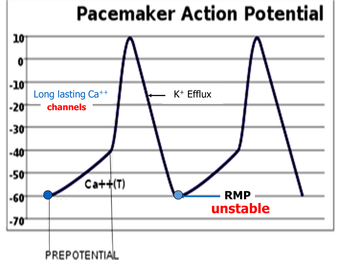 Image of Pacemaker Action Potential Image - 2