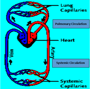 Image of Pulmonary Circulation And Systemic Circulation