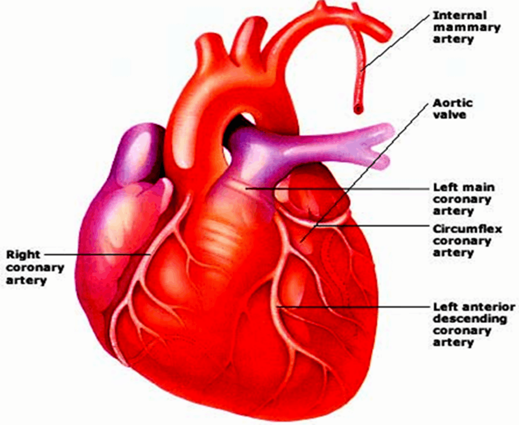 Image of Right Coronary Artery And Right Coronary Artery