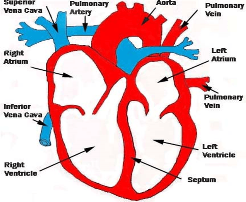 Image of Structure of Heart