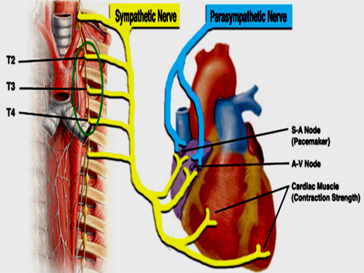 Image of Sympathetic Nerve And Parasympathetic Nerve