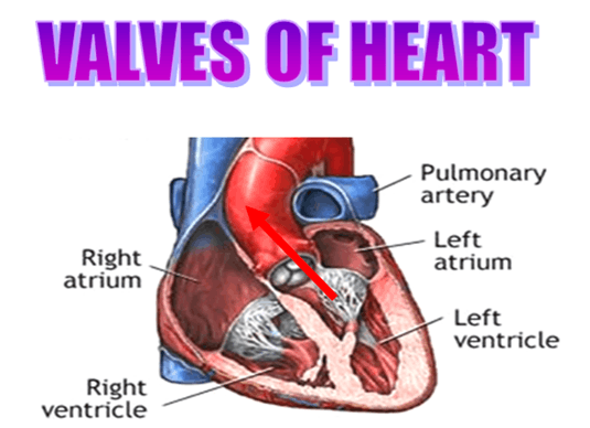 Image of Valves of Heart