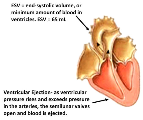 Image of Ventricular Ejection