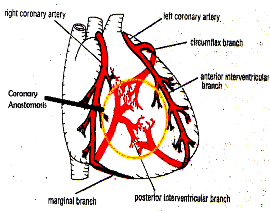 Image of Anastomosis