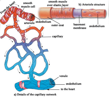 Image of Capillary Network