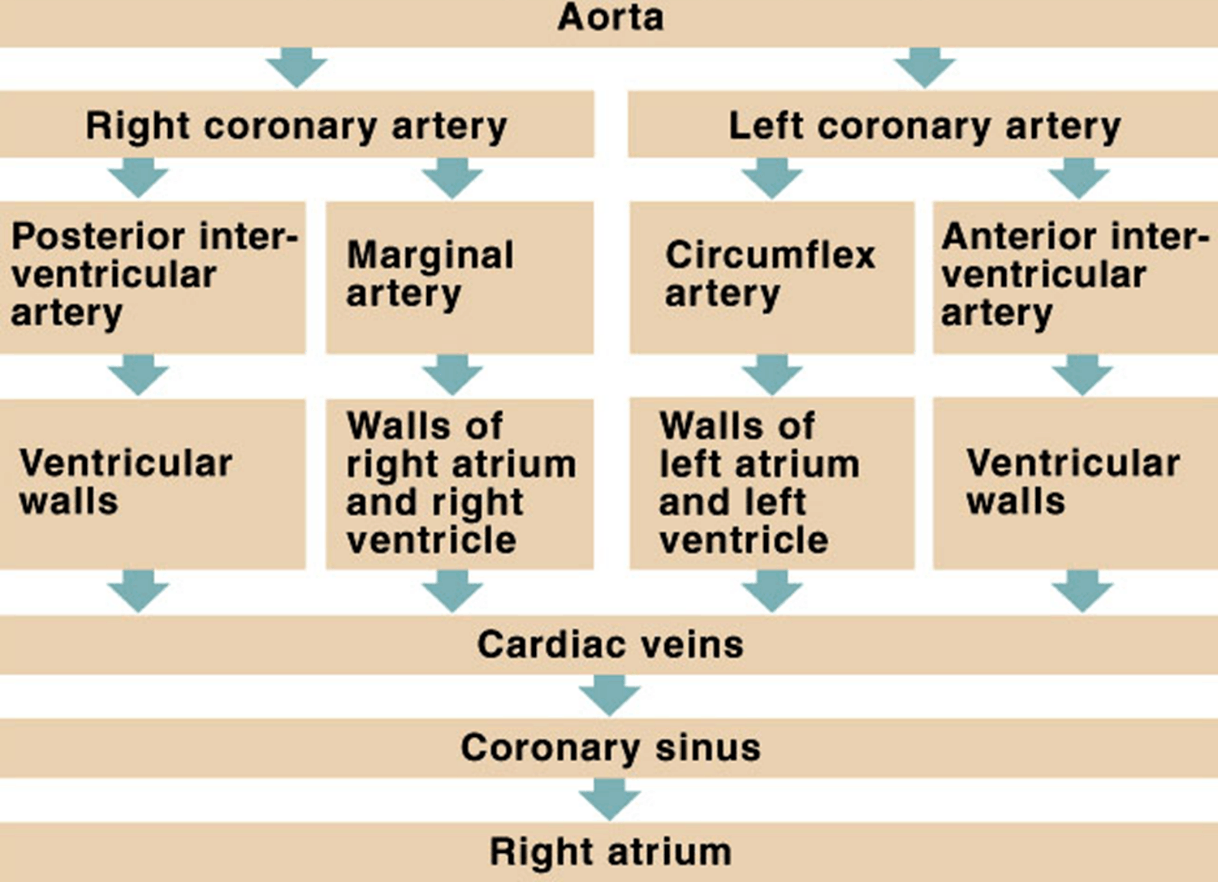 Image of Coronary Supply