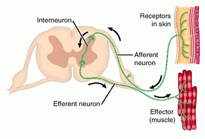 Image of Reflex Action And Reflex Arc
