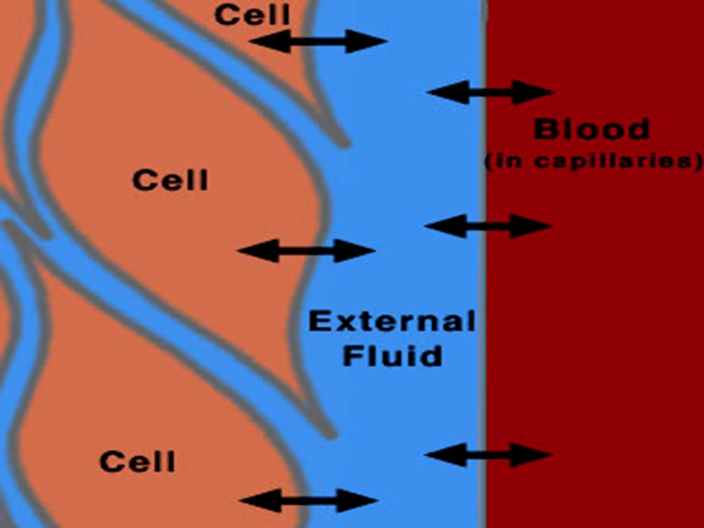 Image of Blood In Capillaries For Simple Cell