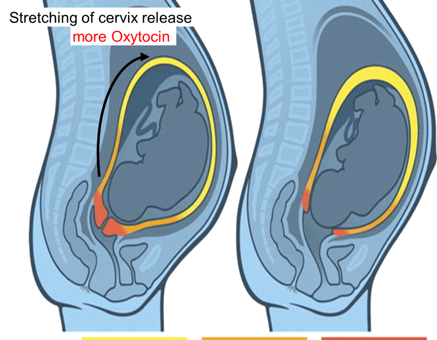 Stretching of Cervix Release More Oxytocin