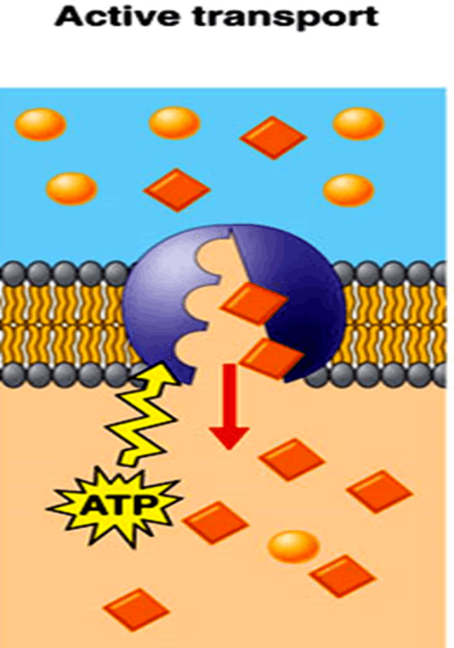 Image of Active transport