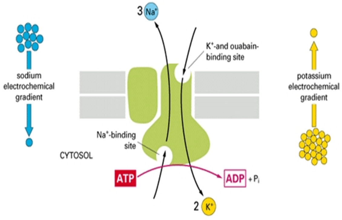Image of Digoxin Mechanism of Action