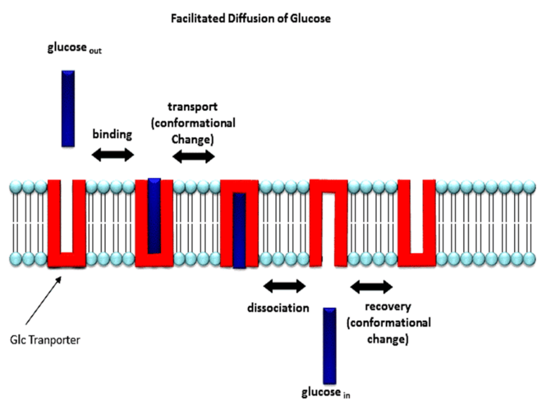 Image of Facilited Diffusion of Glucose