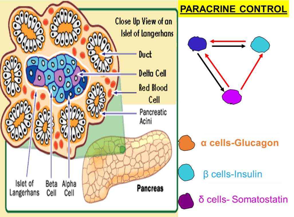 Image of Intercellular communication For Paracrine Control
