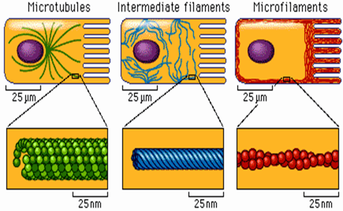 Image of Microtubules, Intermediate Filaments And Microfilaments