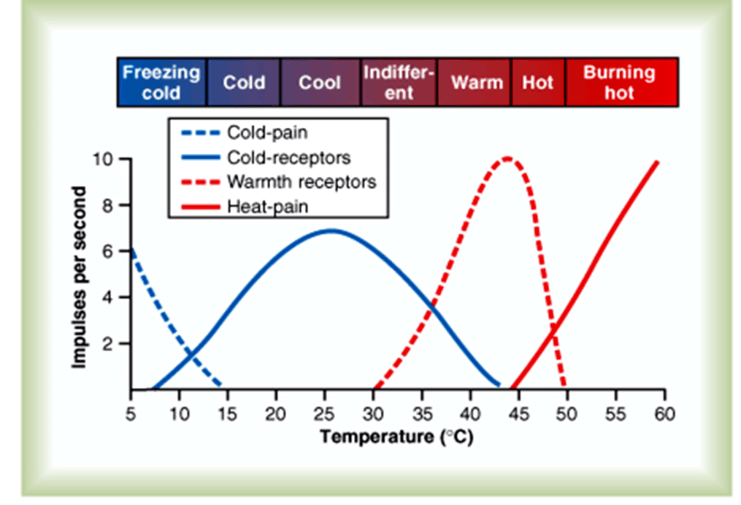 Cold and Warm Receptors Graph
