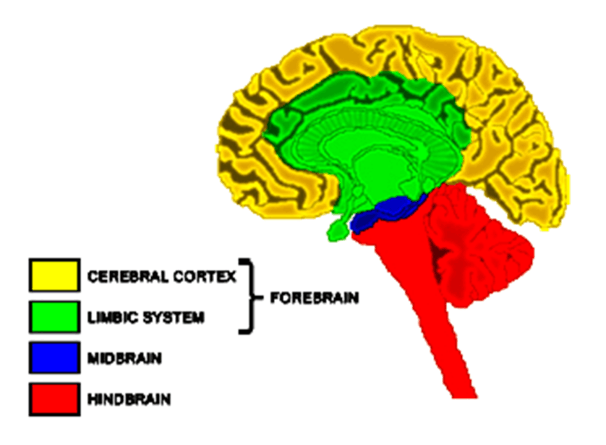 Image of Forebrain