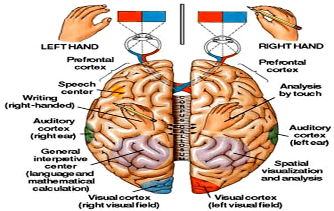 Image of Left Brain And Right Brain
